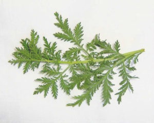 Søtmalurt (Artemisia annua)